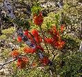 Red mistletoe, Kahurangi National Park, New Zealand 07.jpg