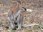 Red necked wallaby2.jpg