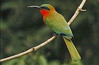 Redthroatedbeeeater1