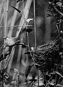 plate from a book with a monochrome photograph of small bird alongside its cup nest, among reeds