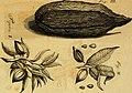 Relatio brevis historico-botanico-medica de avellana Mexicana, vulgo cacao (1728) (14780807212).jpg