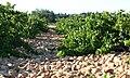 Rhône Valley - Châteauneuf-du-Pape galet stones in vineyards.jpg