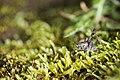 Rhaphidophoridae (41651567194).jpg