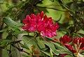 Rhododendron 'Nova Zembla' Flowers.jpg