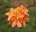 Rhododendron albrechtii Closeup.JPG