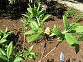 Rhododendron calendulaceum var. auratium 01.JPG