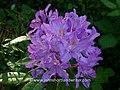 Rhododendron ponticum (34327460972).jpg