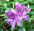 Rhododendron saluenense 2.jpg