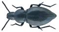 Rhytinota angulicollis Fairmaire, 1884 (29578571955).png