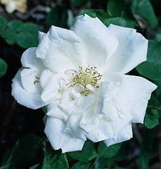 Rosa 'Frau Karl Druschki'.jpg