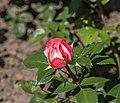 Rosa 'Nostalgie' (d.j.b) 01.jpg