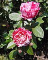 Rosa 'Scentimental' JBM 2.jpg