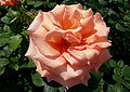 Rosa 'Warm Wishes' J1.jpg