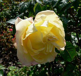 Garden roses Ornamental roses