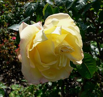 Garden roses - The Hybrid Tea rose, 'Peer Gynt'