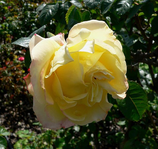 File:Rosa Peer Gynt 1.jpg
