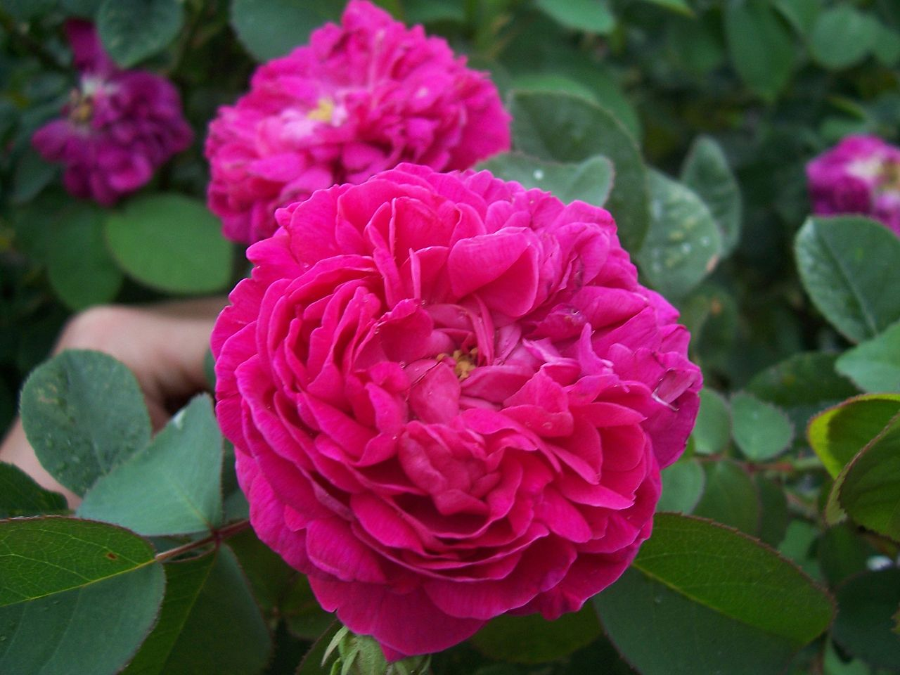 Rose de Rescht by Florian Moeckel (public domain)