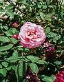 Rosa indica 14022013.jpg