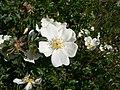 Rosa spinosissima inflorescence (06).jpg
