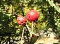 Rosa tomentosa fruit (06).jpg