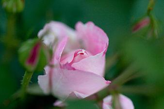 Rose, Carefree Wonder - Flickr - nekonomania (13).jpg