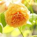 Rose, Grace, バラ, グレイス, (15071593038).jpg
