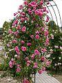 Rose, Parade, バラ, パレード, (12553083143).jpg