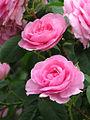 Rose Gertrude Jekyll (4647468950).jpg
