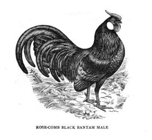 Rosecomb male 1905.png