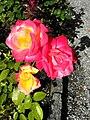 Rosen bei der Polnischen Freiheitssäule unweit des Pulverturms des Schlosses Rapperswil 2012-09-23 15-44-09 (P7000).jpg