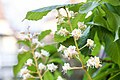 Rosskastanie (Aesculus hippocastanum) - Flickr - blumenbiene.jpg