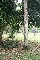 Roystonea Regia 05.jpg