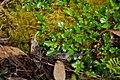 Rubus gunnianus group.jpg