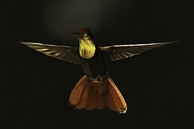 Ruby-topaz hummingbird (Chrysolampis mosquitus) male in flight.jpg