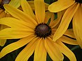 Rudbeckia from Lalbagh flower show Aug 2013 8282.JPG