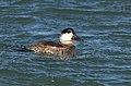 Ruddy Duck winter male, Oakland CA 16DEC2017.jpg