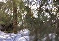 Ruffed Grouse - Sault St.Marie - Canada 0021 (15541008831).jpg