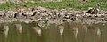 Ruffs (Philomachus pugnax) with a Sandpiper at Bharatpur I IMG 5557.jpg
