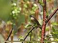 Rufous-breasted Accentor (Prunella strophiata) (36270609646).jpg
