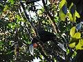 Rufous-necked Hornbill DSCN1385 02.jpg