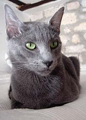 The Russian Blue is a cat breed selected for a self blue colour