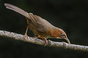 Rusty-cheeked scimitar babbler - Subspecies P. e. erythrogenys from Ghatgarh, Nainital, Uttarakhand, India.