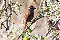 Rusty Sparrow (Aimophila rufescens) (8079403551).jpg