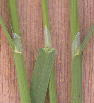 Poa - Rough meadow-grass (Poa trivialis), showing the ligule structure