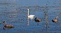 Säynätsalo - swans 3.jpg