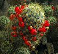 SDC11393 - Mammillaria prolifera.JPG