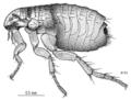 SIPH Pulicidae Ctenocephalides felis felis.png