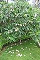SZ 深圳 Shenzhen 南山 Nanshan 蛇口海上世界 Shekou Sea World garden plants n trees 雞蛋花 Plumeria July yellow 2017 IX1 (1).jpg