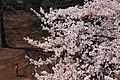 Sakura ^ Boy - panoramio.jpg
