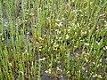 Salicornia spergularia.jpg